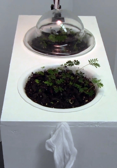 Handle With Care Pedestal - Mixed media including live Mimosa pudica plants pedestal detail, 2013