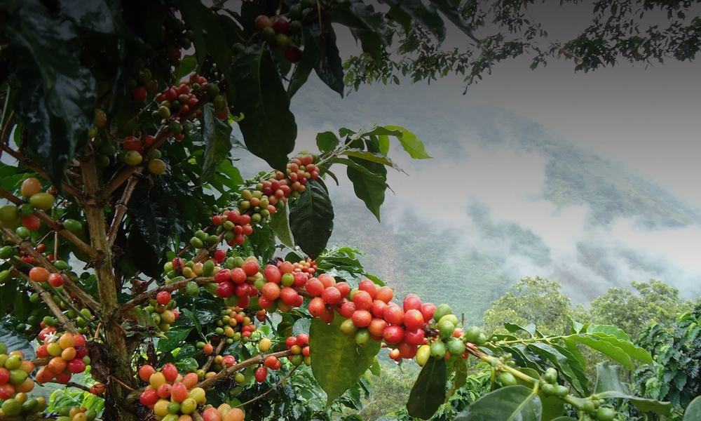 DEDICATED TO SOURCING AND ROASTING THE WORLDS BEST COFFEE
