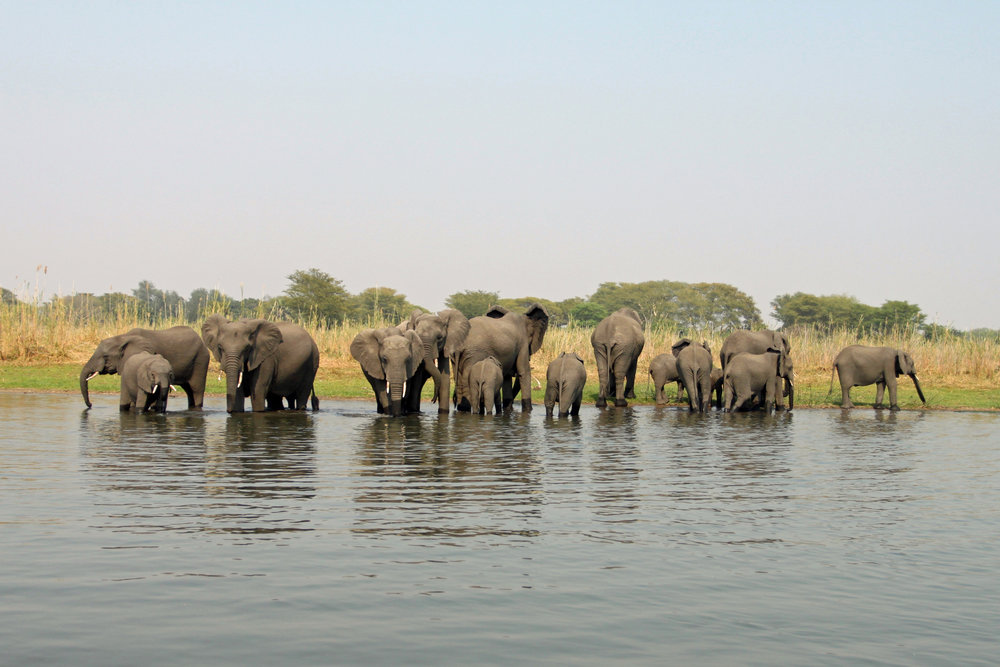A few of Liwonde National Park's elephant residents.
