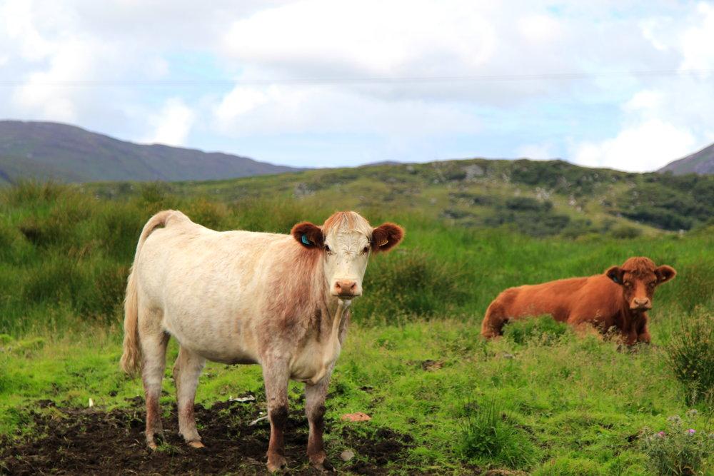 Scotland cows!