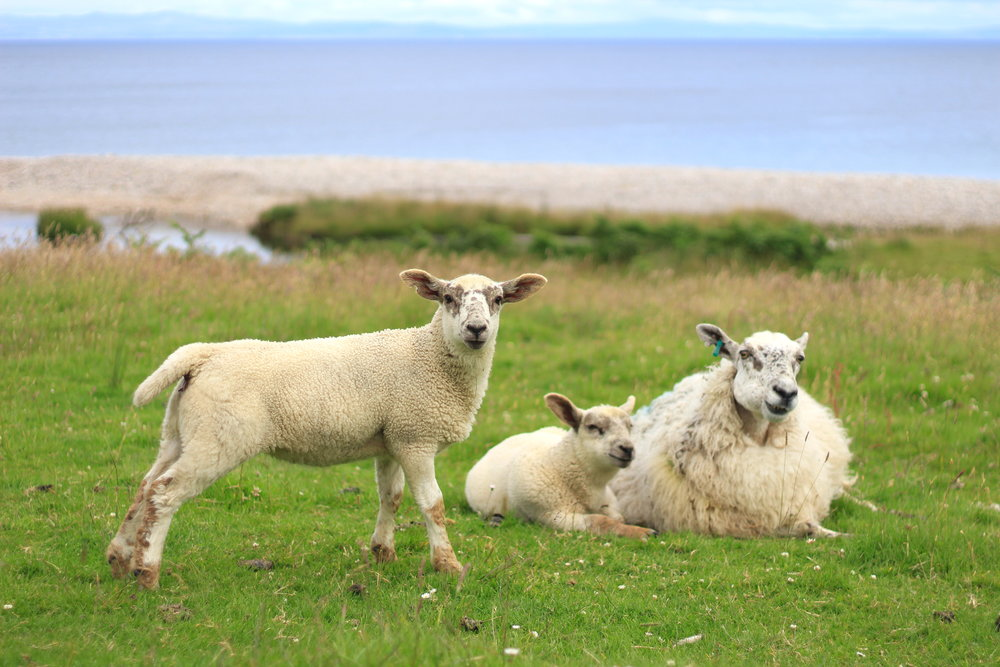 scotland sheep family