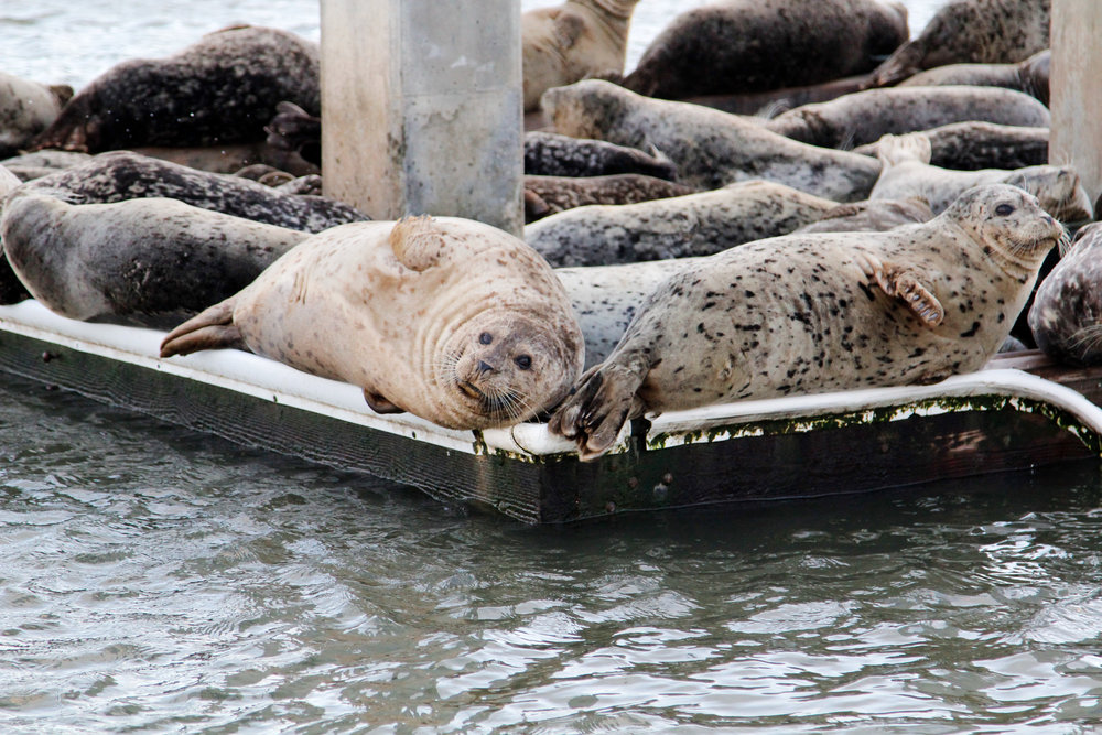 San Francisco harbor seals