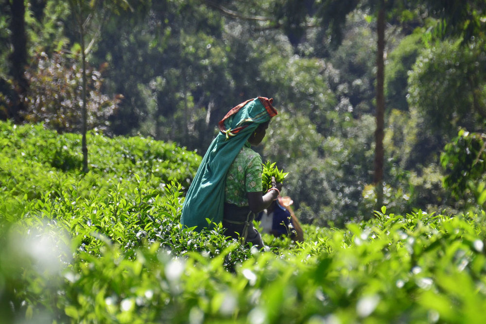 hapatale-tea-plantation.JPG