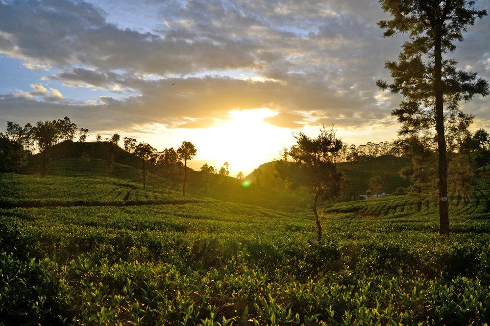 sunrise-over-tea-plantations.JPG