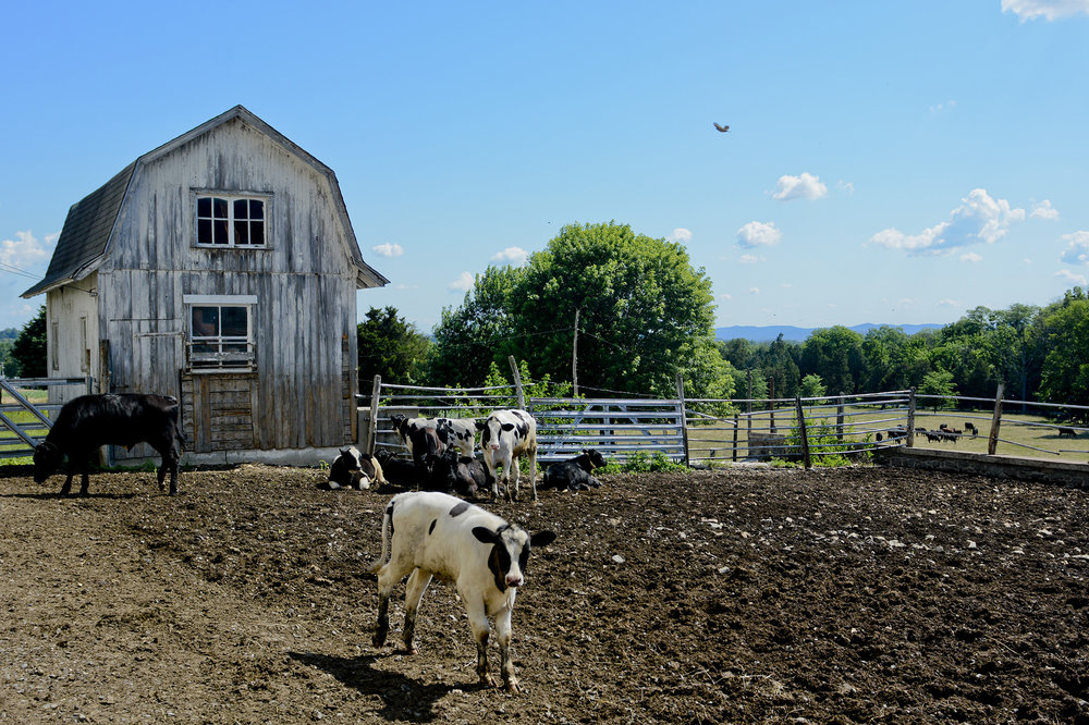 The farm, located 23 minutes west of Reading, raises cattle primarily for beef now. There are some dairy cows on the farm, but are milked at a different location.