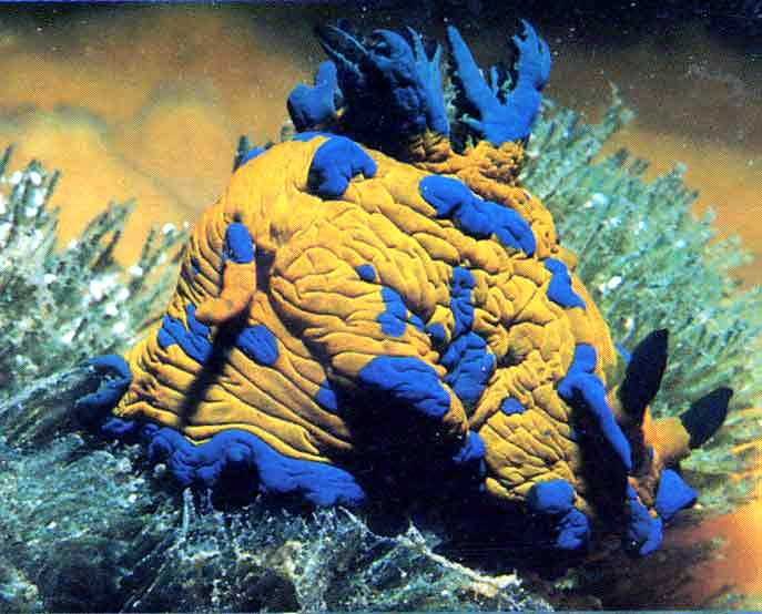 Nudibranch-7c.jpg