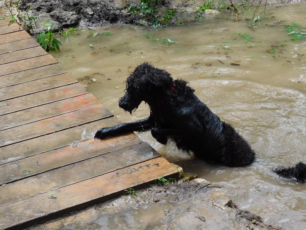 Soaked Dog At Barton Creek
