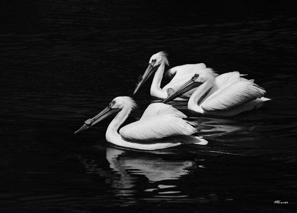 flickr pelicans