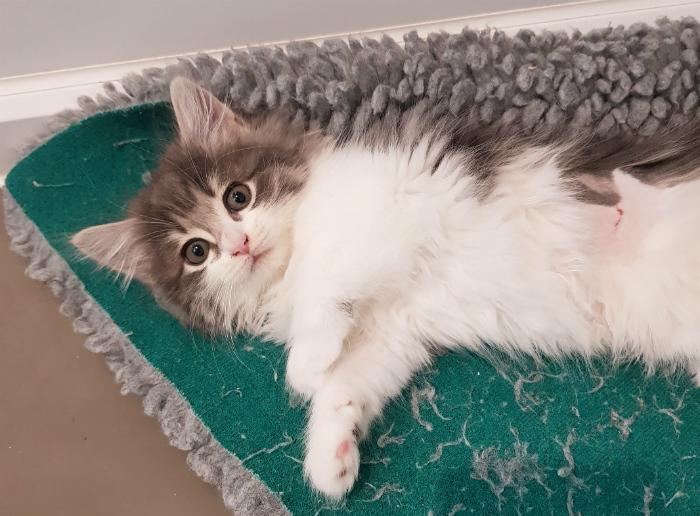 adopt a rescue kitten.jpg