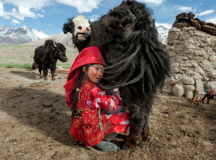 MATTHIEU PALEY. Kyrgyz girl milks yak on an altitude where crops cannot grow; her family depends on the yaks. If they would indulge 'emself in luxury servings there would not be enough food for the winter months when yaks give less milk.