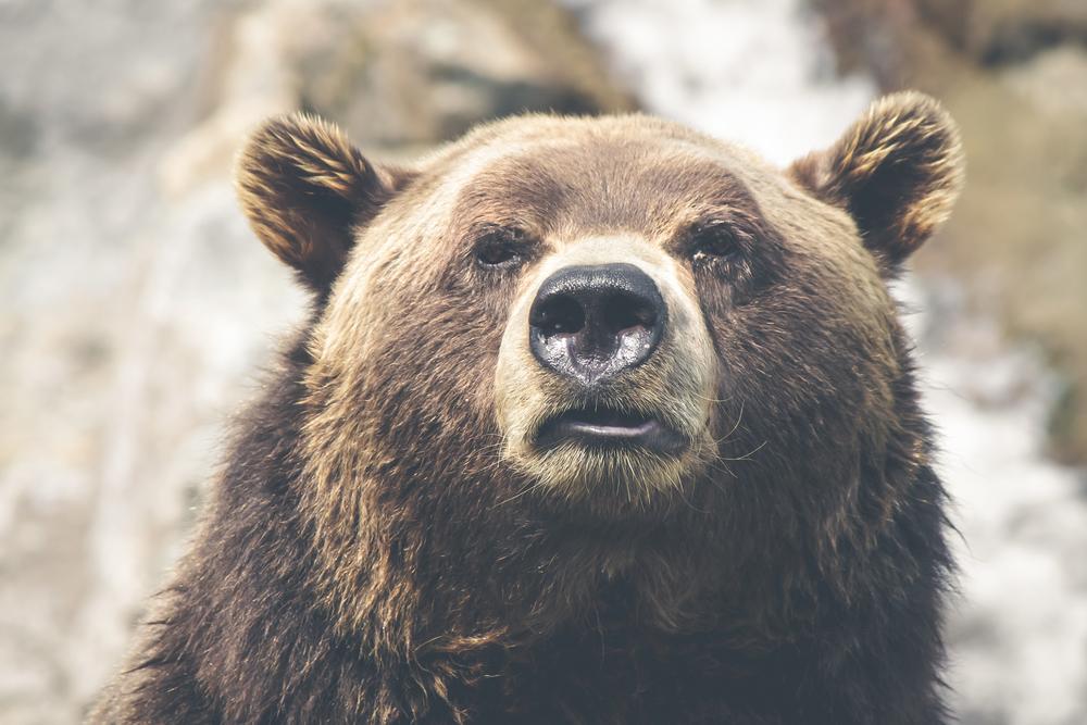 Bear Title