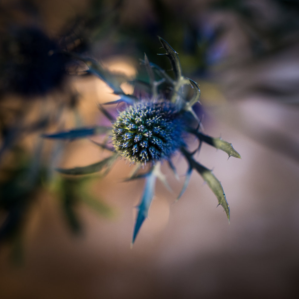 The work  Eryngium bourgatii  was based on this plant, commonly called the Sea Holly.