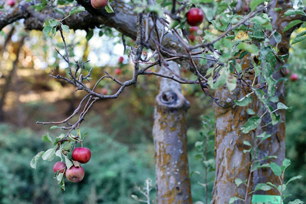 apple picking | jessie webster
