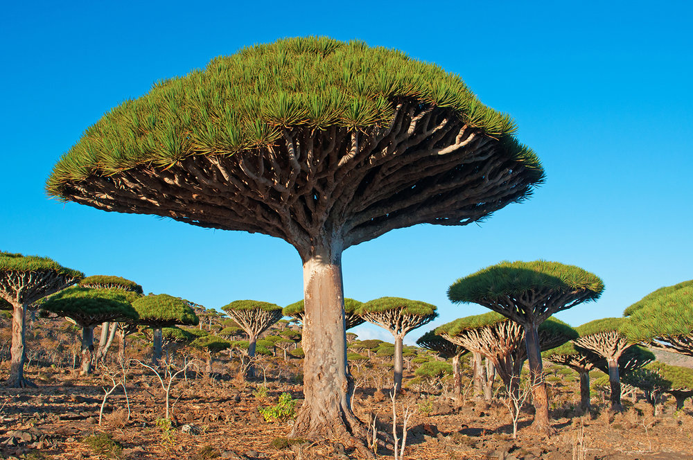 Frankincense tree.jpg