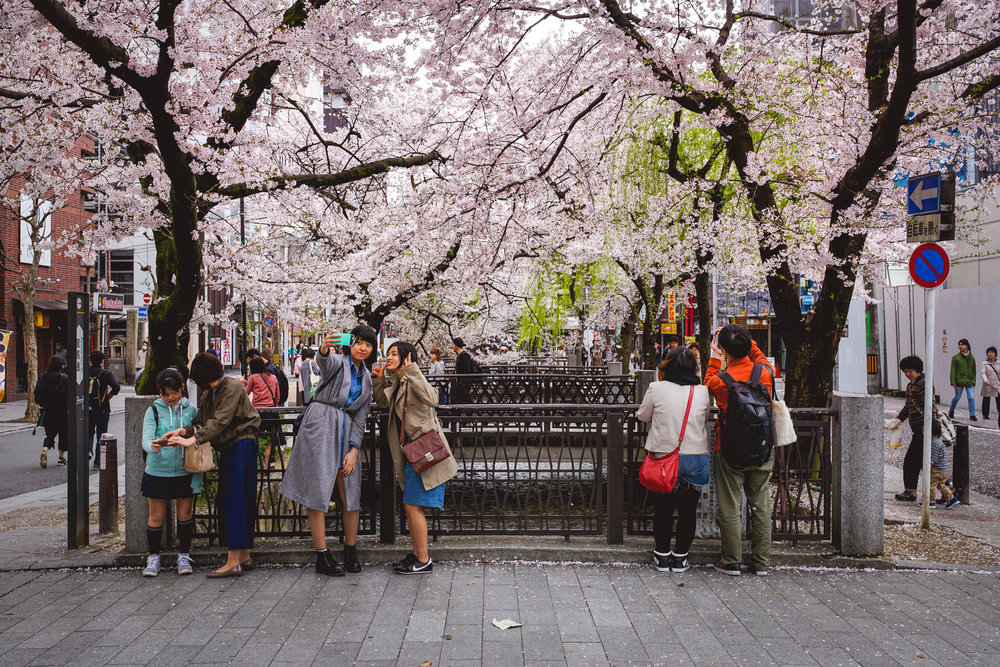 Lonely Planet Travel News: Cherry Blossoms - Images of cherry blossoms flowering in Tokyo, Kyoto and Nara by James Gabriel Martin featured in a gallery on lonelyplanet.com