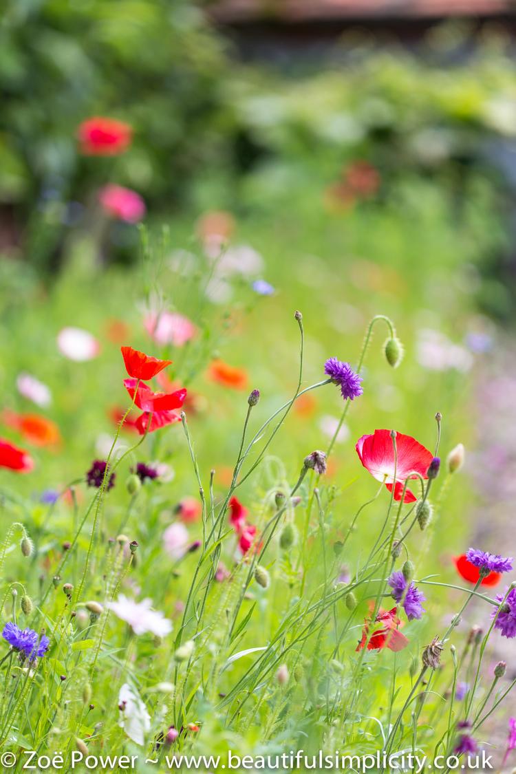 flowers amapolas