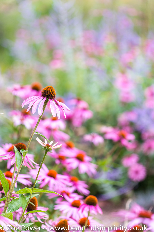 Echinacea_West_Dean_Gardens.jpg