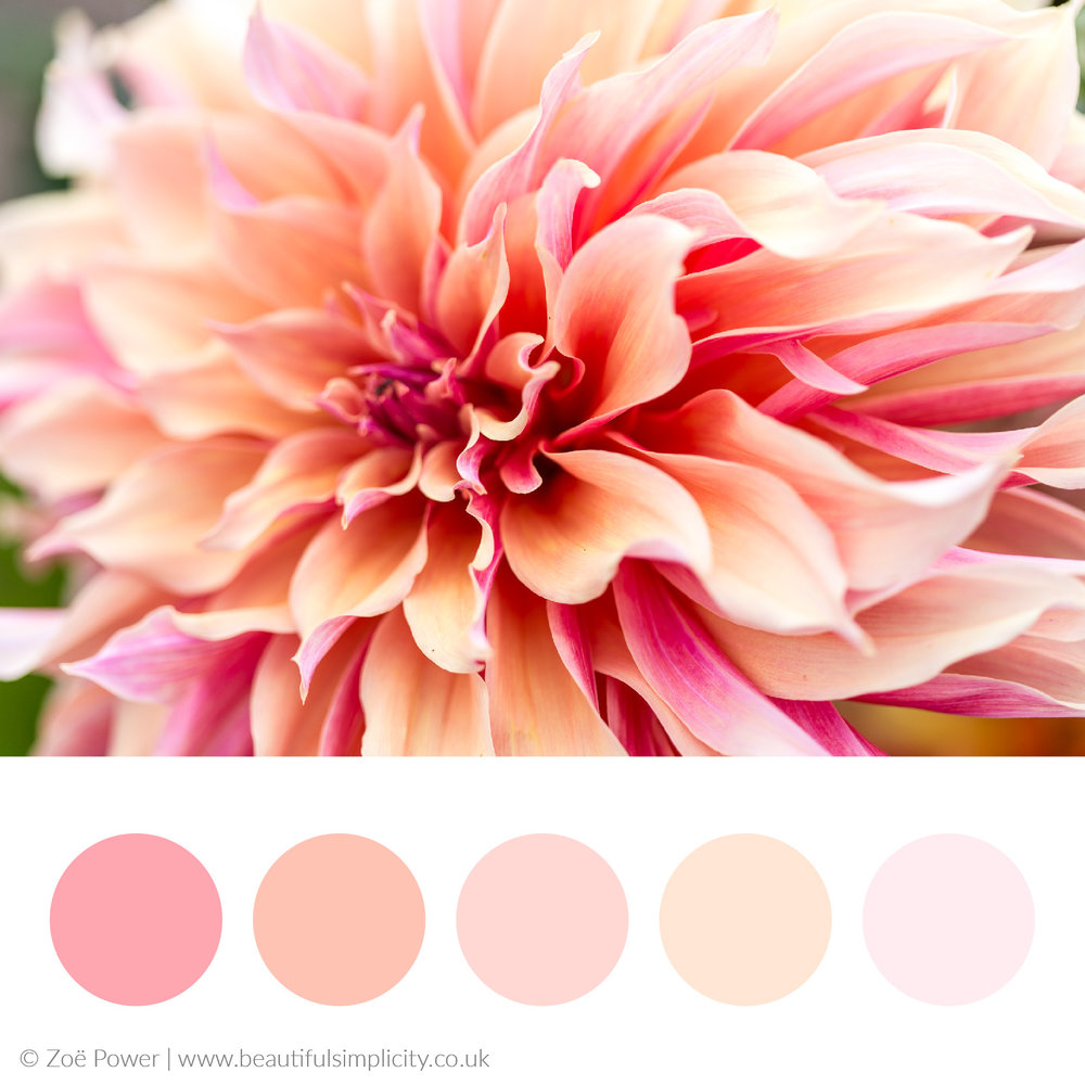 Warm blush pink colour palette | Dahlia hues