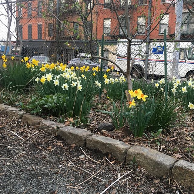 The daffodils are in full-bloom! Happy Spring! —— #greeneacres #communitygarden #brooklyn #bedstuy #nyc #nyrp #chicken #garden