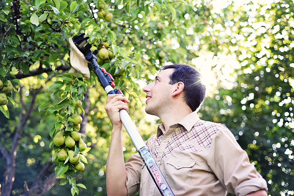 Jay Garlough harvesting a pear tree.