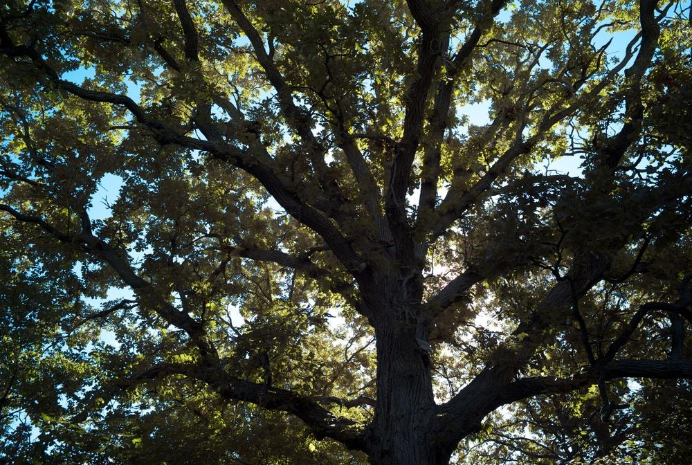 Bur oak.