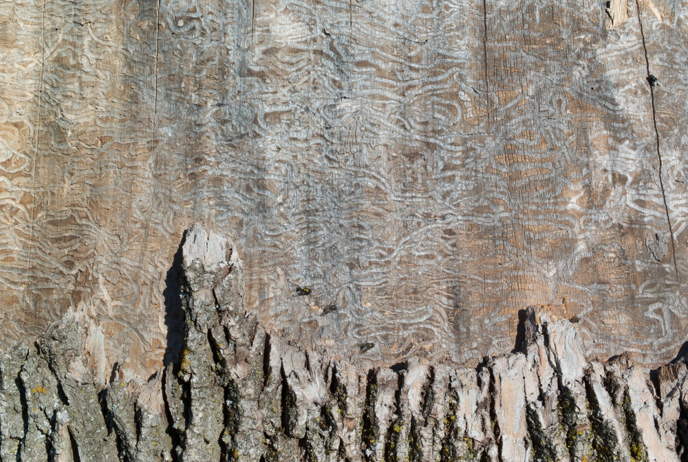 Emerald ash borer markings.