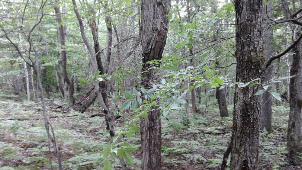 Maple Ash Swamp