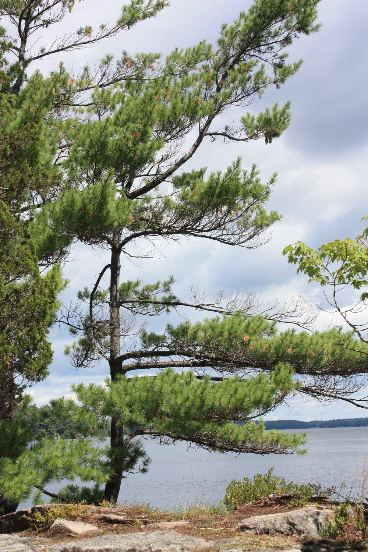 White pine on the shores of Grand Lake, Algonquin Park