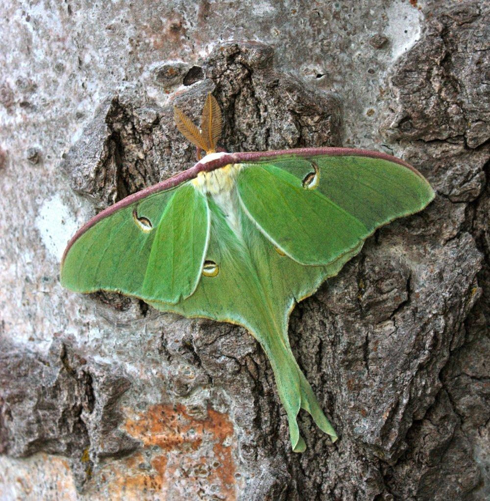 Luna moth on a poplar tree