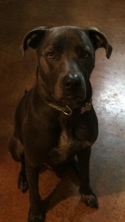 Sterling Cane Corso mix