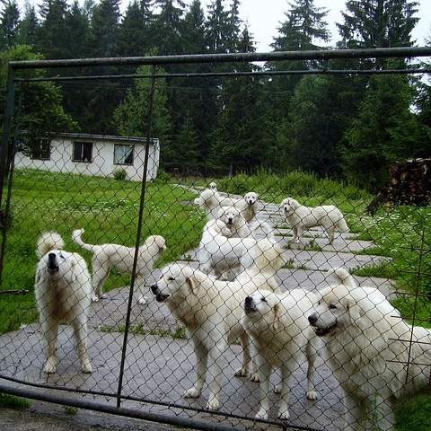 - Great Pyrenees