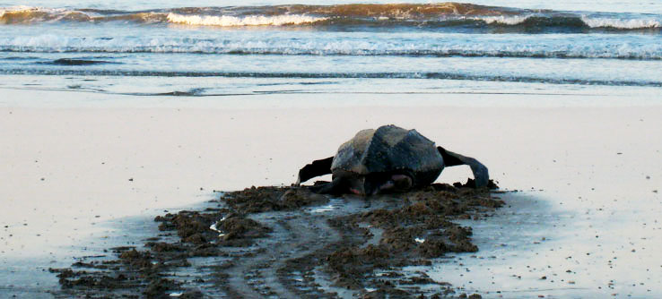 paladino-costa-rican-sea-turtles-c.-joan-burnett-h-10_5200.jpg