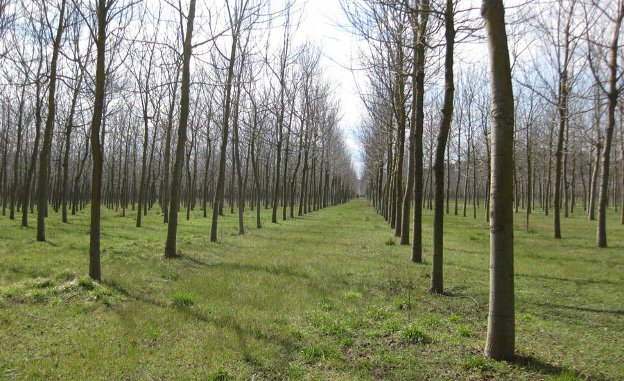 Plantación para la producción sostenible de madera