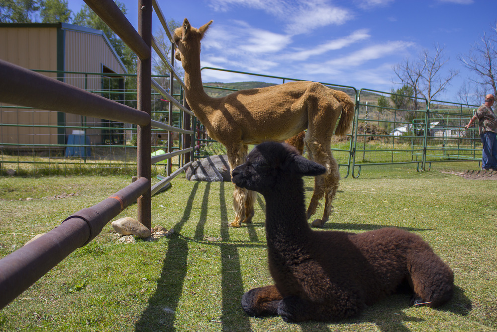 Some of the alpaca babies and ladies were more shy than others.