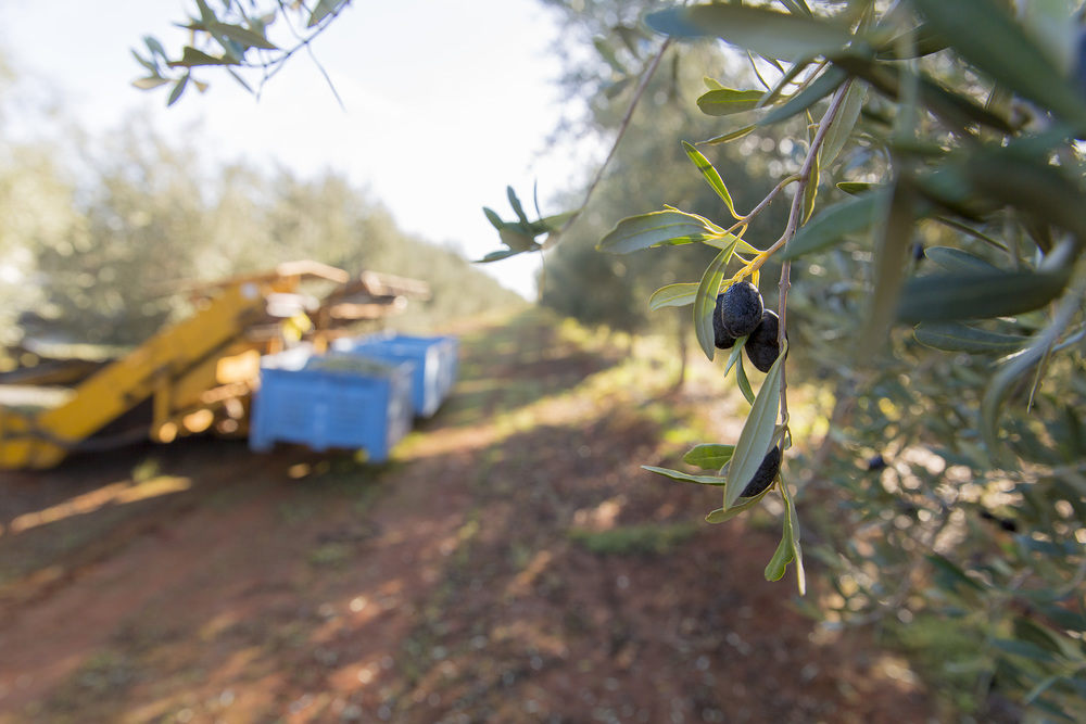 Tree Tops Olive Grove and Factory WEB 063.jpg