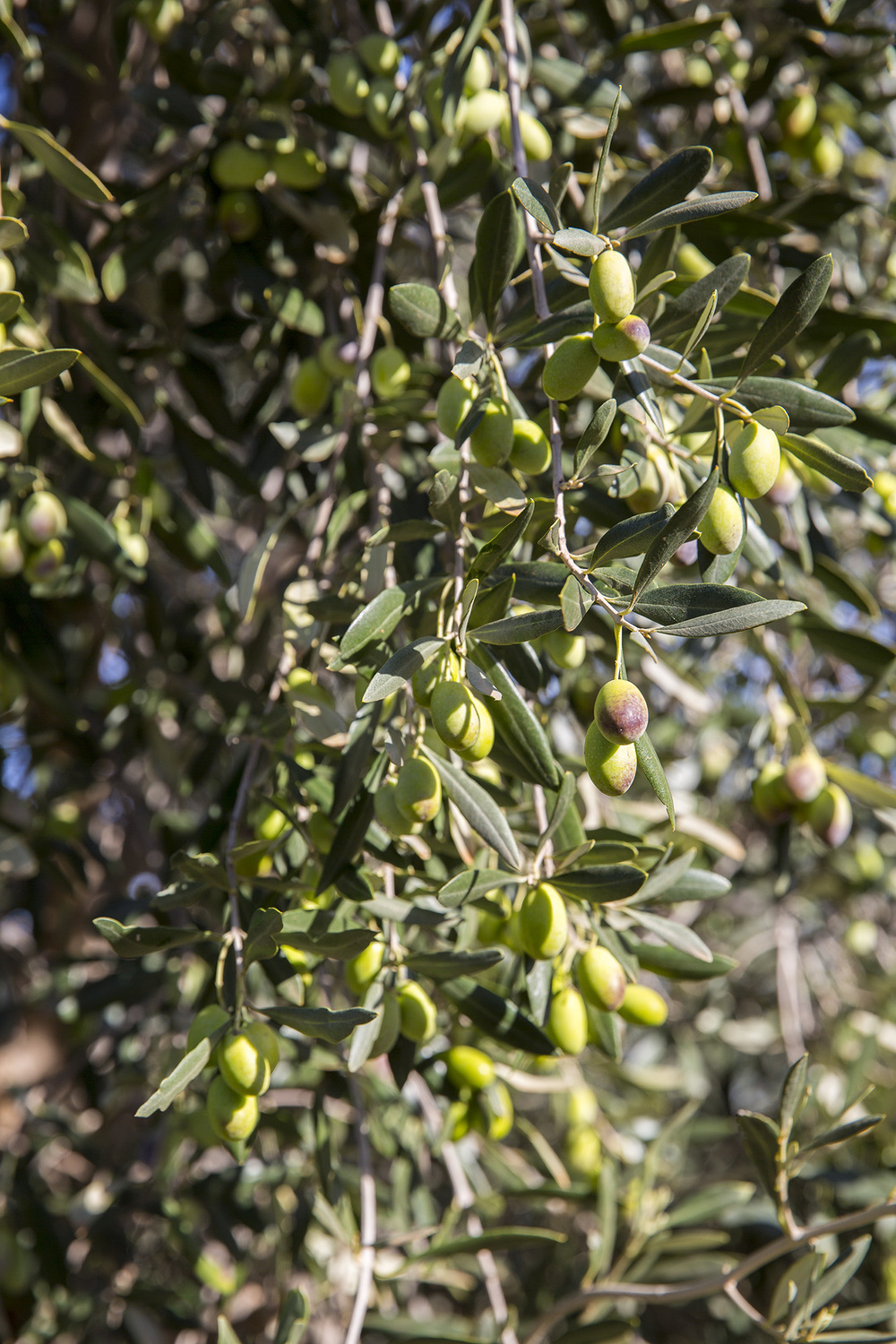 Tree Tops Olive Grove and Factory WEB 068 (1).jpg