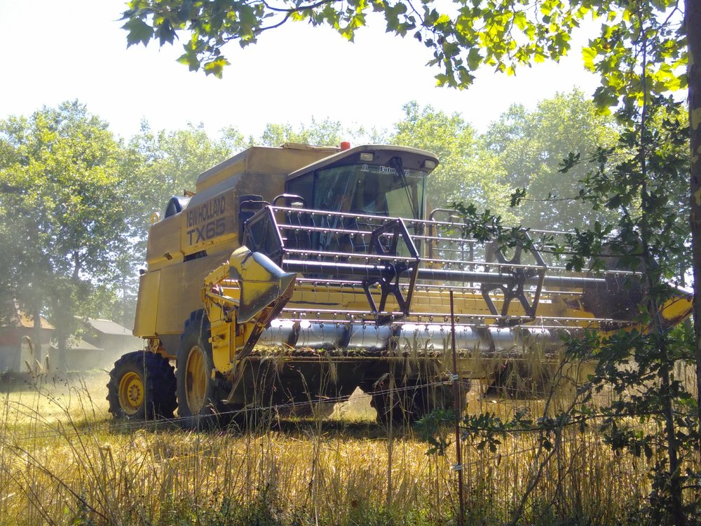 harvesting the grains for the animals