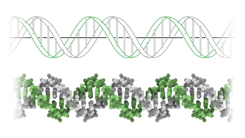 上:DNA双螺旋结构示意图。 下:DNA原子模型(没有显示氢原子)。