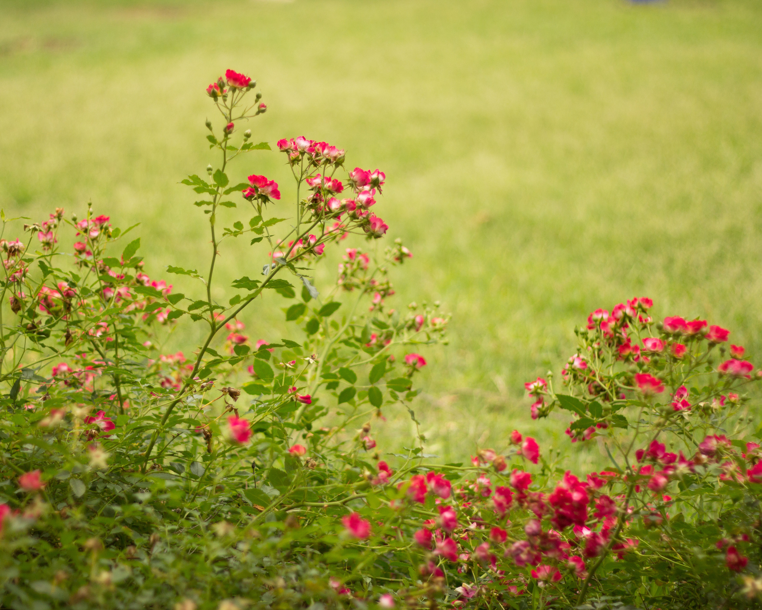 seven sisters rose buds-1