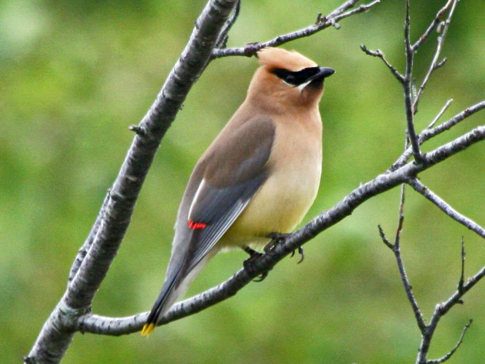 Cedar Waxwings  are fairly common if you know where to look.  They can be found along wood edges near a water source.