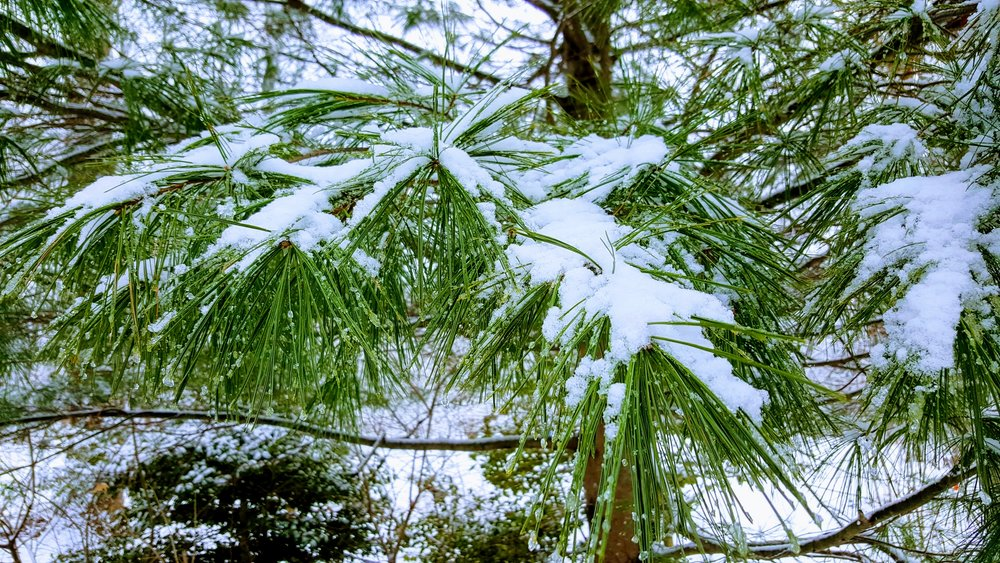 Pine & Snow.jpg