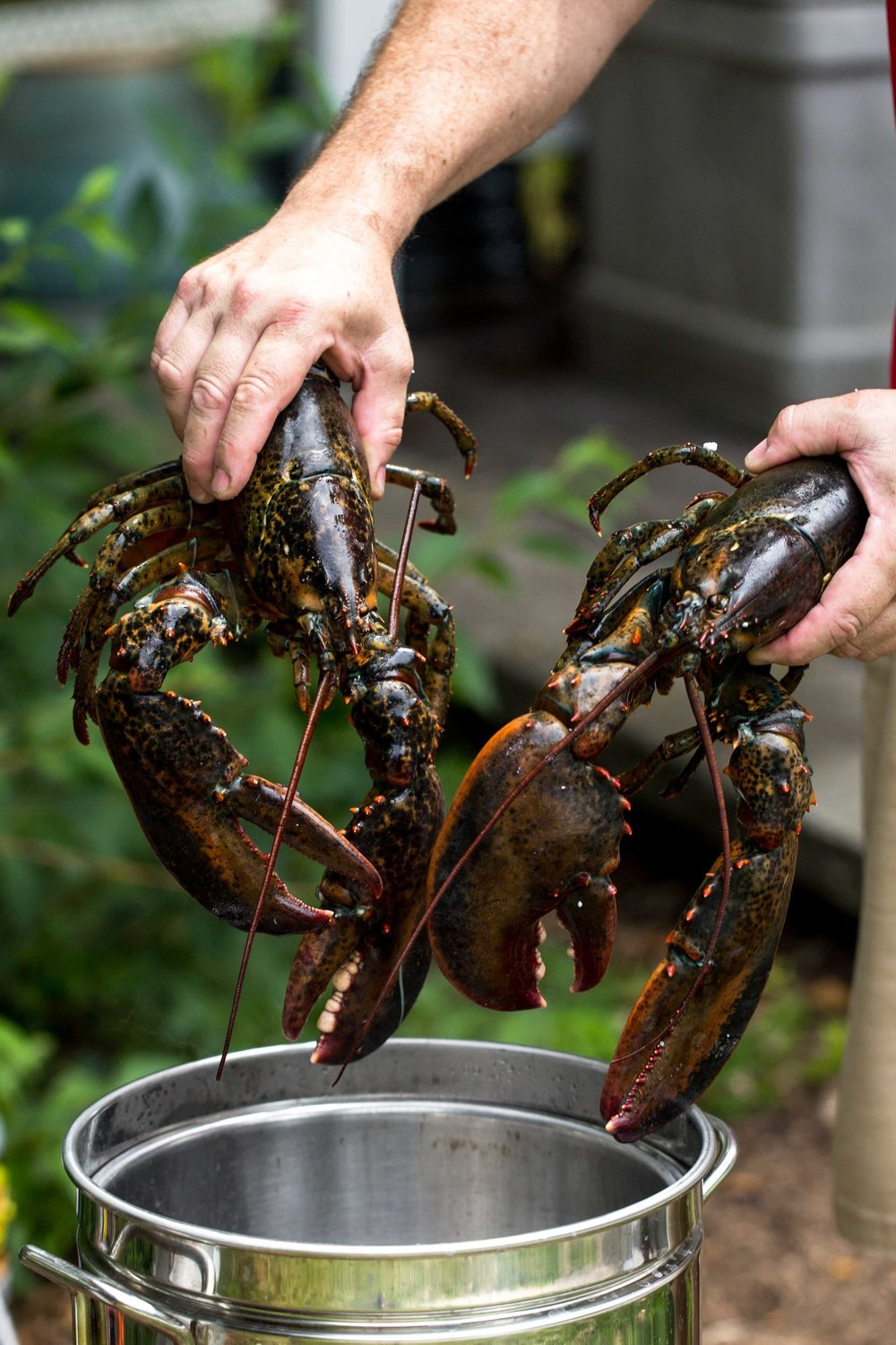 lobsters into pot cooking with cocktail rings