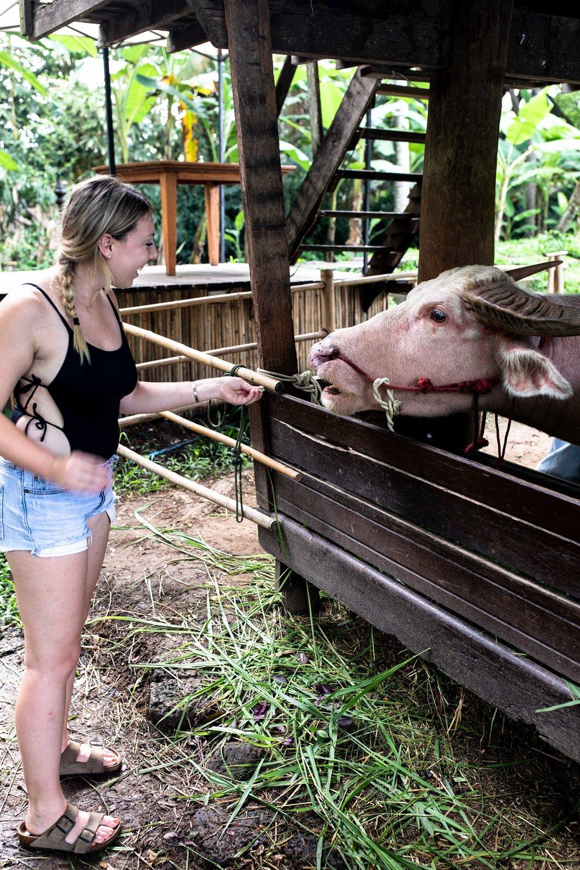 pink ox four season chiang mai
