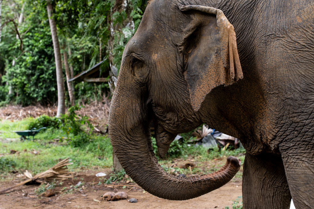 elephant sanctuary closeup phuket