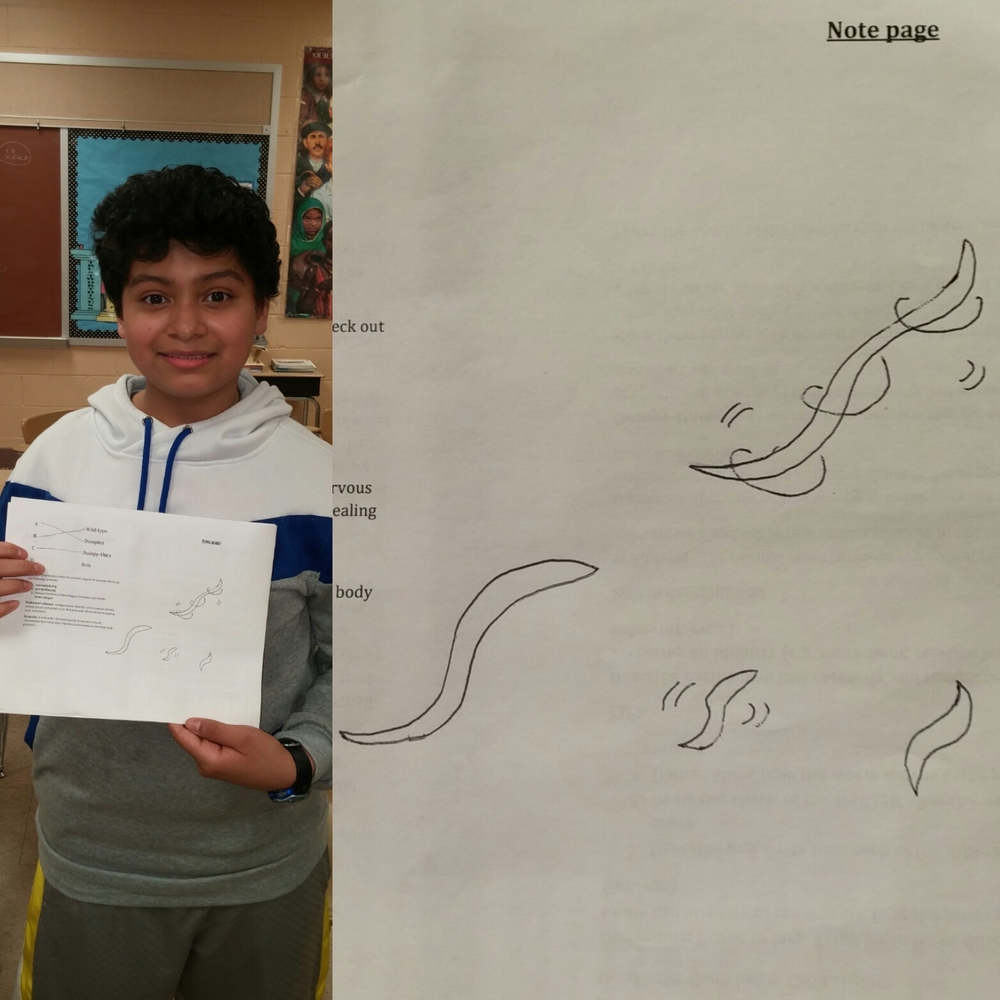 This student was both incredibly observant and a great artist.  He was able to accurately depict the movement of the mutant worm strains.