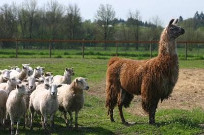 llamas and livestock