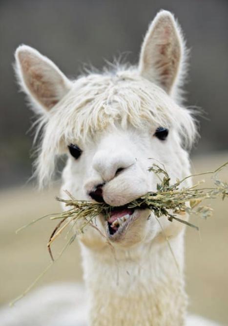 alpaca eating hay.PNG