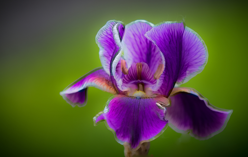 Iris in Purple and Gold