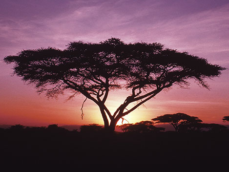 acacia-sunset-purple.jpg
