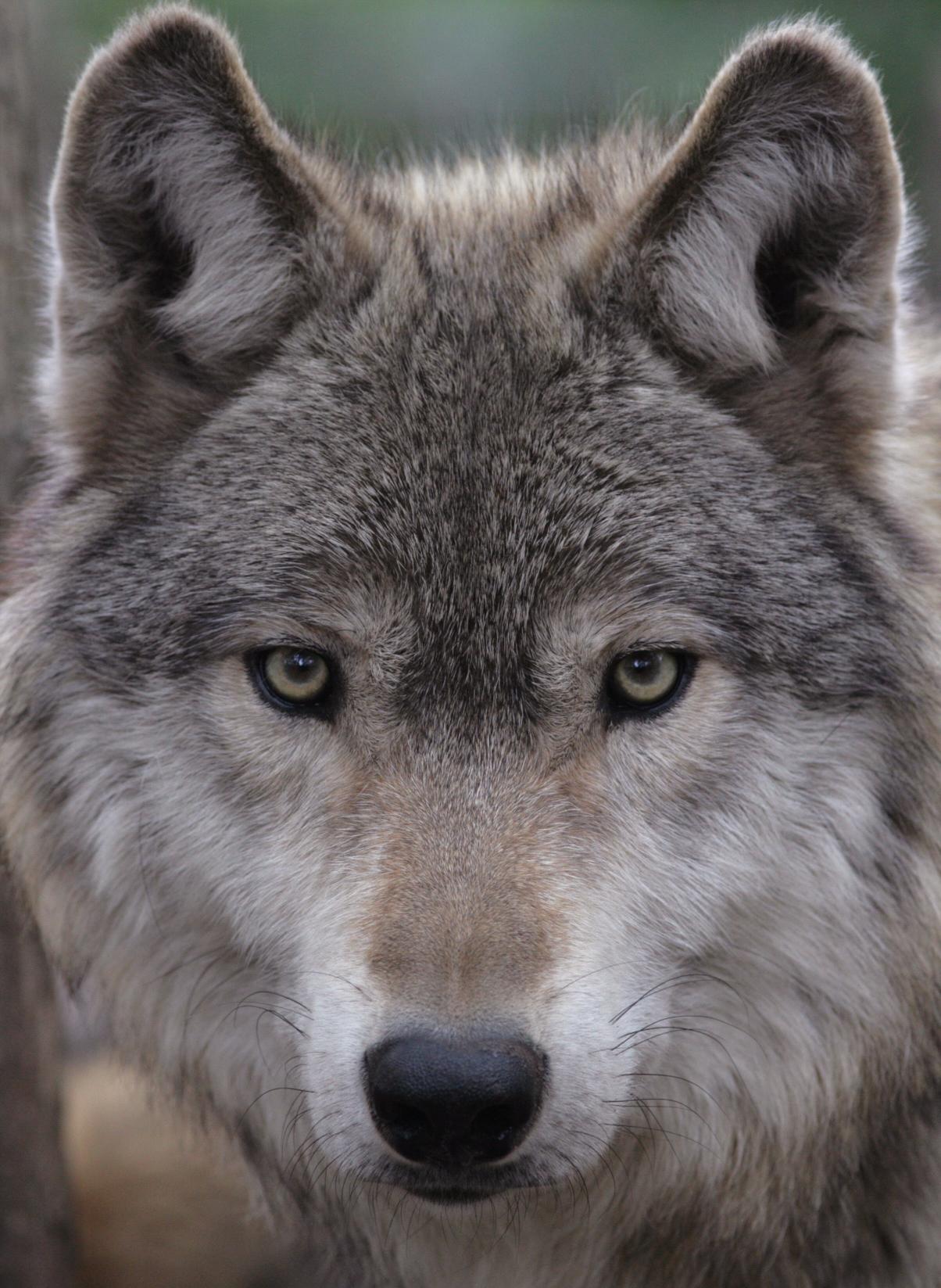 gray wolf wildlife science center